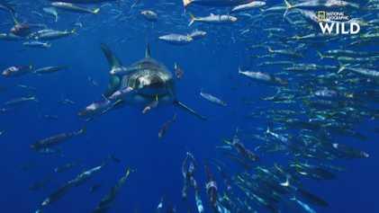 Quand les requins chassent les dauphins