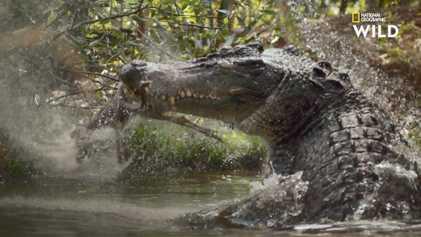 Un crocodile chasse le wallaroo