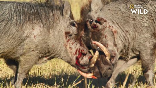 La violence de la séduction des phacochères