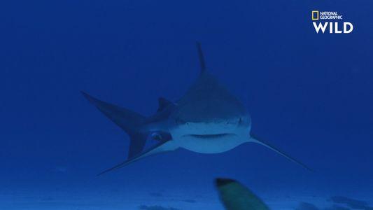 Le requin-bouledogue, encore plus dangereux que le Grand requin-blanc