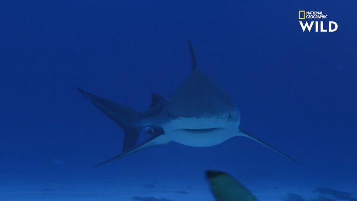 Le requin-bouledogue, plus dangereux que le Grand requin-blanc