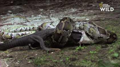 Vidéo : un python birman avale un alligator