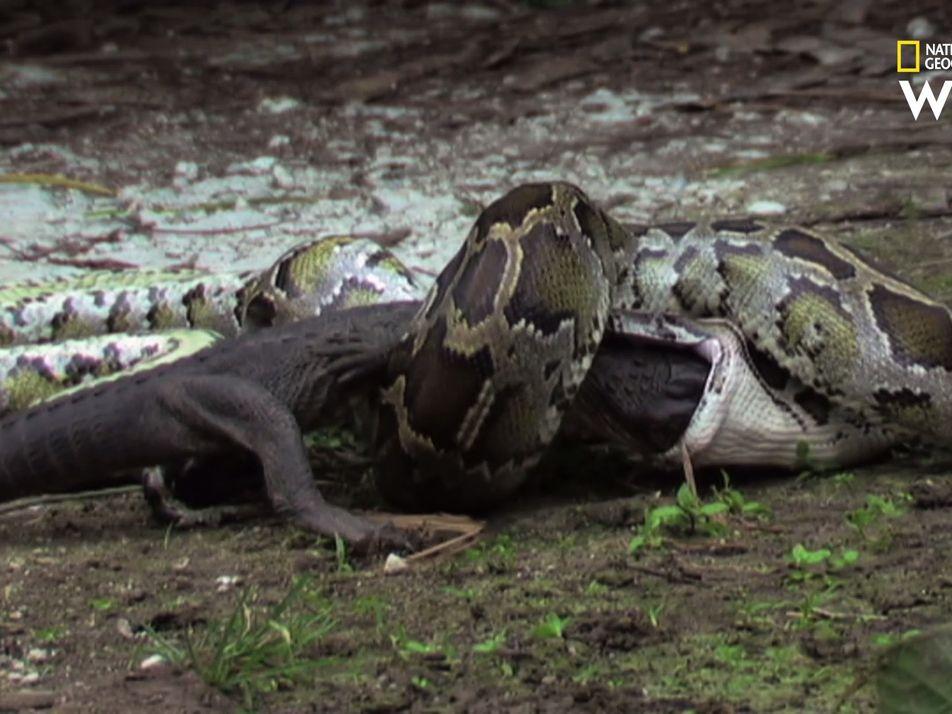 Comment ce python birman fait-il pour avaler un alligator vivant ?
