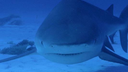 Attaque de requins bouledogues en Floride