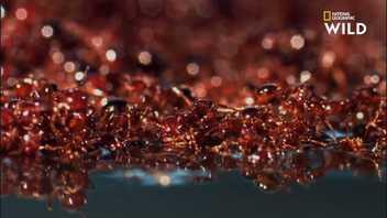 Les redoutables fourmis de feu peuvent dévorer leur victime jusqu'à l'os