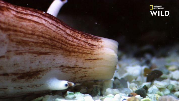 L'escargot marin, un assassin toxique de 15 centimètres