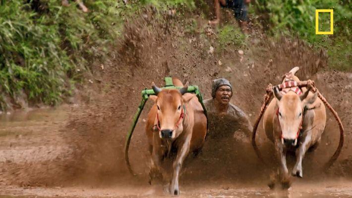Le pacu jawi, discipline musclée d'Indonésie
