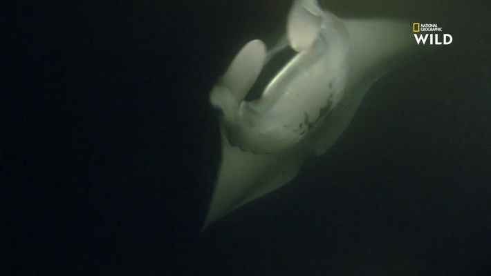 En images : les splendides raies mantas géantes