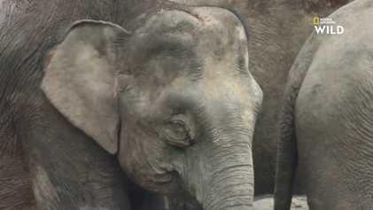 Vidéo : l'éléphant pygmée de Bornéo, plus petit éléphant du monde