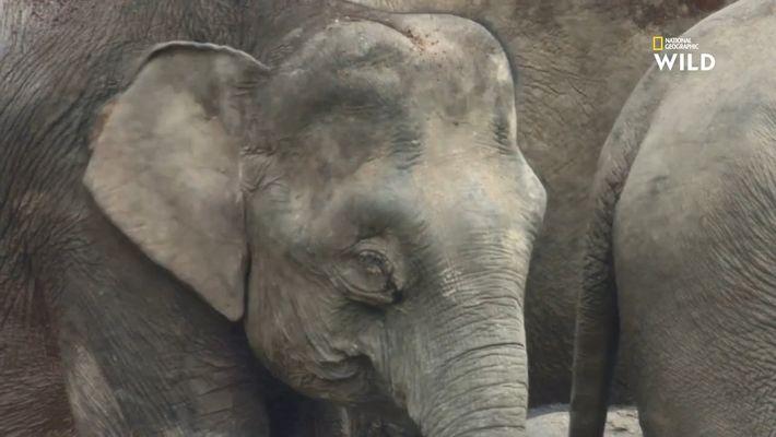 L'éléphant pygmée de Bornéo, fascinant mammifère