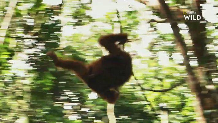 Les orangs-outans de Bornéo, fiers maîtres des cimes de la canopée