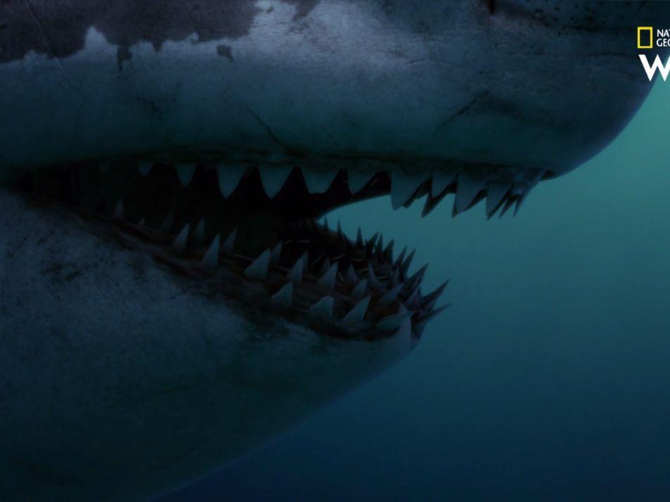 Une dent de mégalodon a été retrouvée plantée sur une baleine