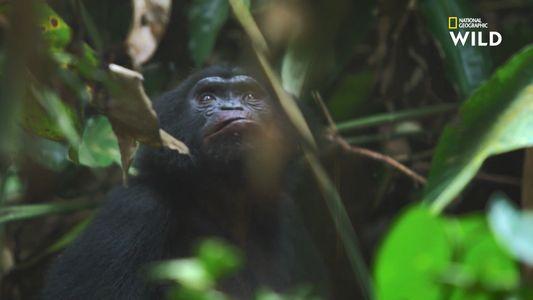 Doux et attentionnés : au paradis des bonobos