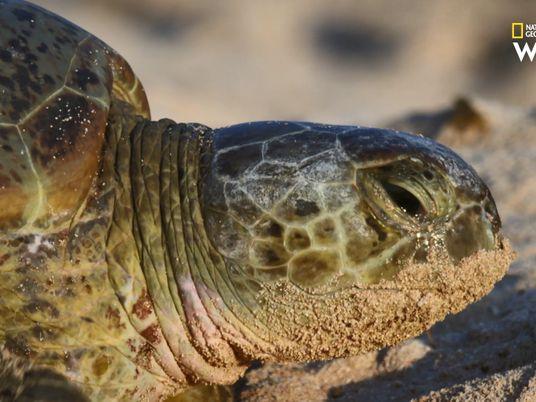 La plus grande colonie de tortues vertes vit sur une île faite d'excréments