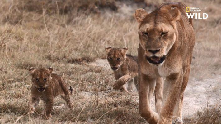Destination Wild - Lions