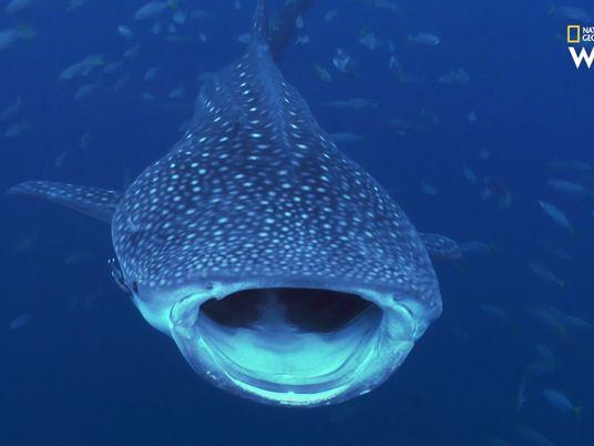 L'immense requin-baleine en images