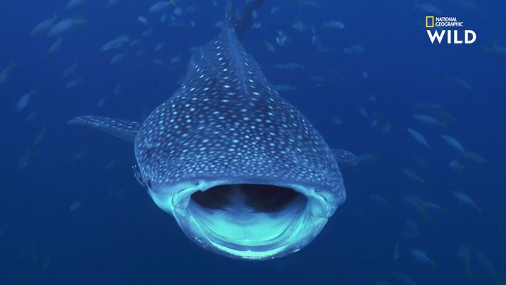 Destination Wild - Requin baleine