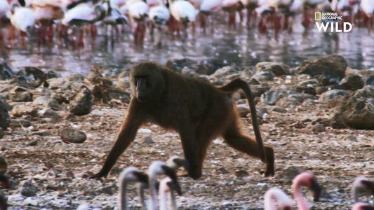 De quoi le babouin se nourrit-il vraiment ?