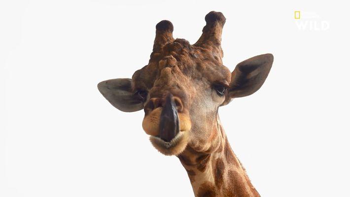 Desination Wild : Girafes