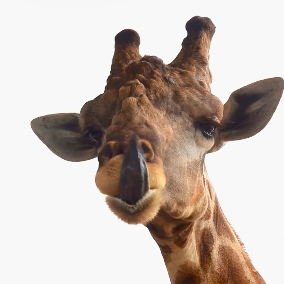Les girafes, reines géantes et majestueuses de la savane