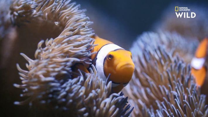 Destination Wild : poissons clowns