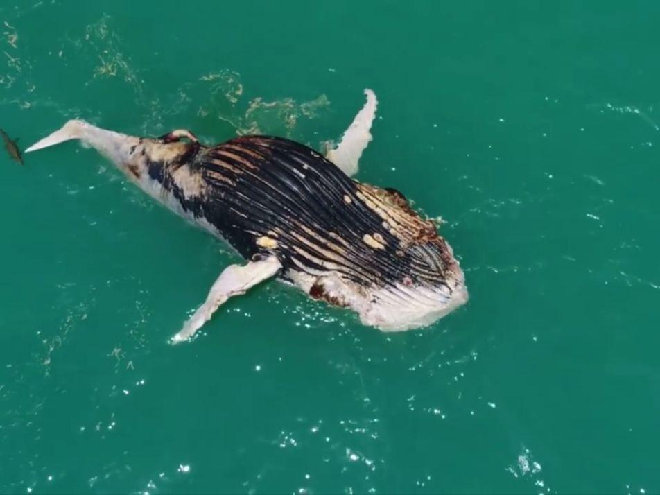 Vidéo : un requin et un crocodile se partagent une baleine morte