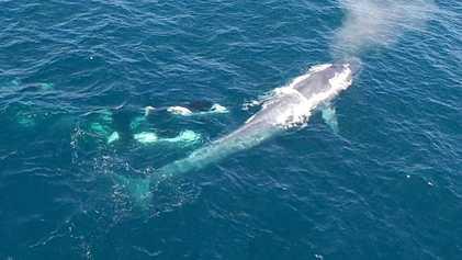 Un groupe d'orques a été filmé en train d'attaquer une baleine bleue