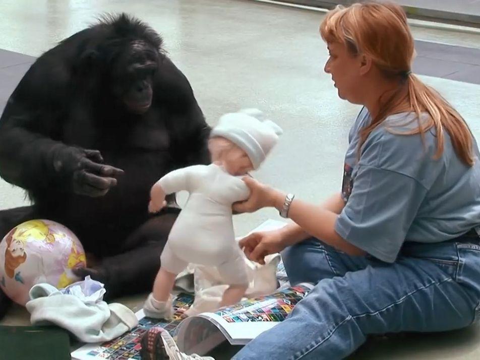 Quand les singes apprennent le langage humain