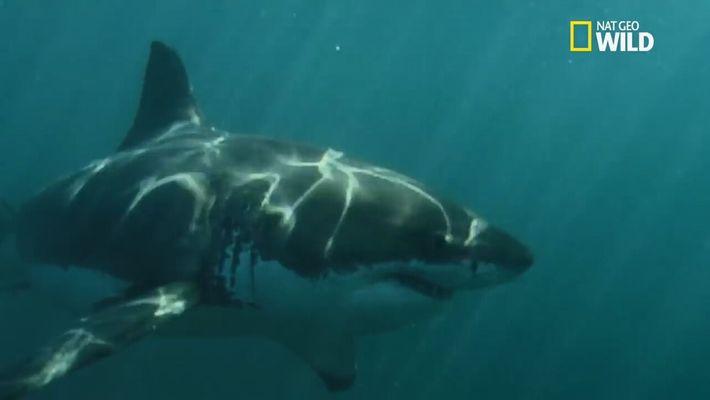 Affrontement entre un Grand requin-blanc et un éléphant de mer