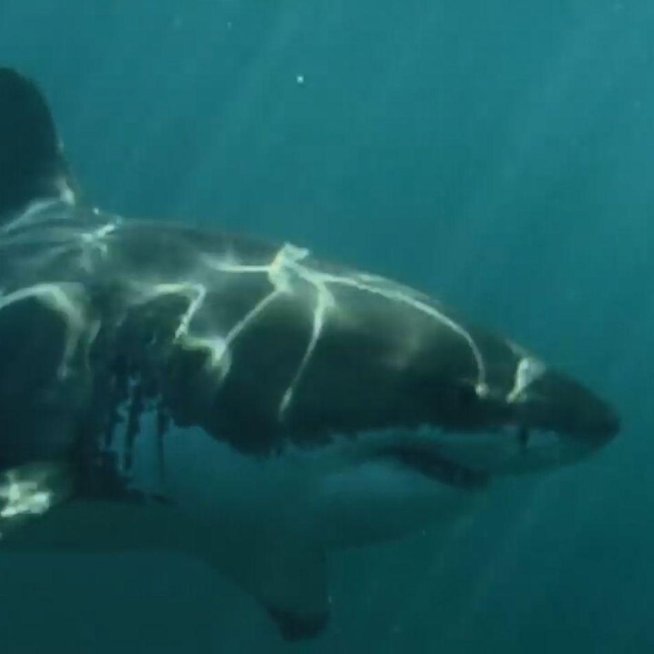 Un éléphant de mer affronte un grand requin-blanc