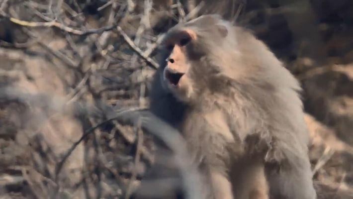 Combat de macaques