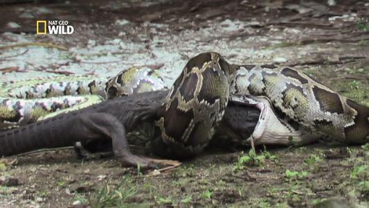 Vidéo : un python engloutit un alligator vivant