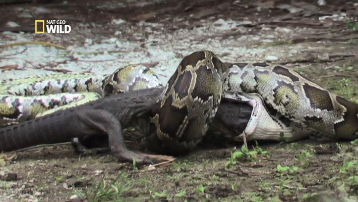 Un python engloutit un alligator vivant (en images)