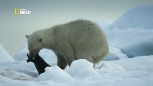 Un ours polaire affamé attaque des phoques sur la banquise