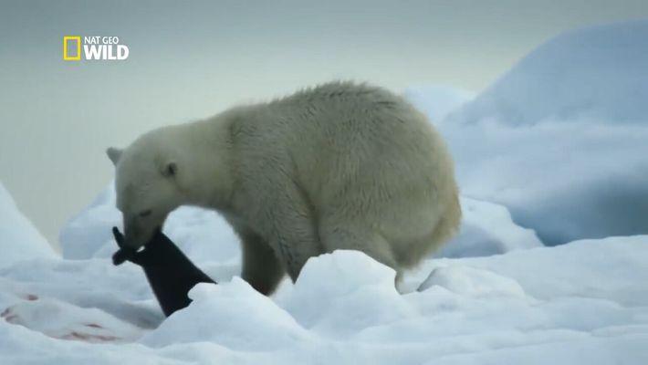 Cet ours polaire attaque des phoques sur la banquise