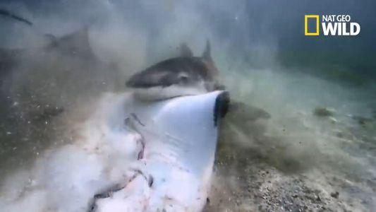 Crocodile ou requin-bouledogue : qui est le plus redoutable ?