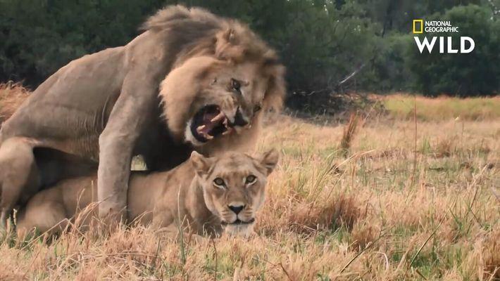 Le grand marathon de l'accouplement des lions