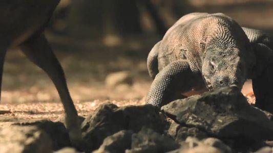 Vidéo : le dragon de Komodo part en chasse