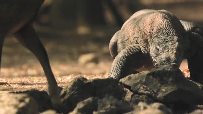 La chasse du dragon de Komodo