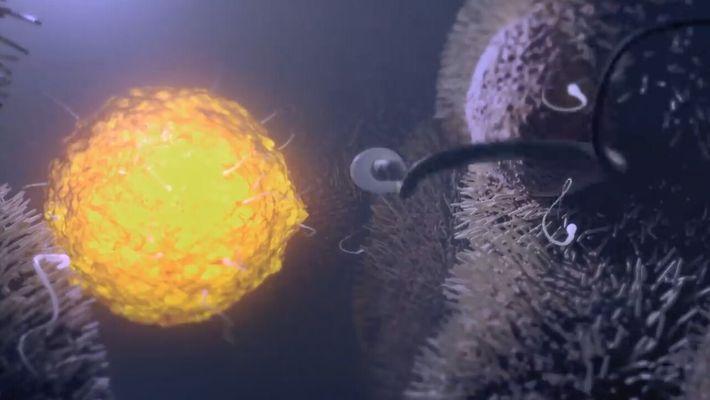 Le fabuleux périple des spermatozoïdes pour atteindre l'ovule