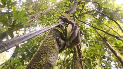 Amazonie : les techniques de chasse traditionnelles du peuple huaorani
