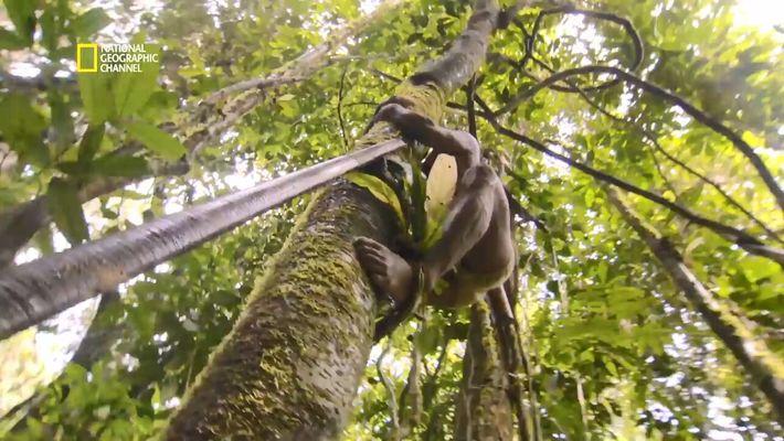 Quand les Huaorani chassent le singe-araignée