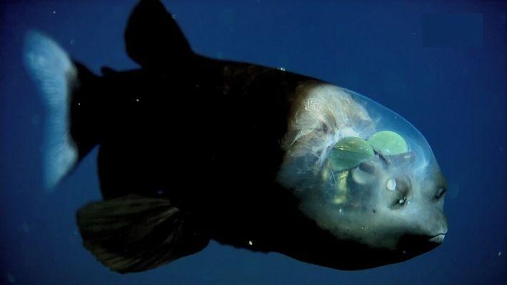 Où sont situés les yeux du poisson revenant ?