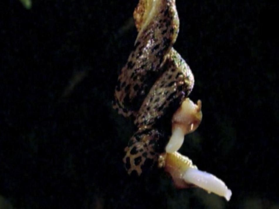 Les ébats aériens de la limace-léopard