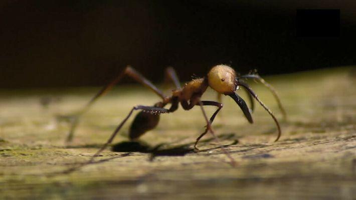 Comment font ces fourmis aveugles pour se déplacer en colonie ?