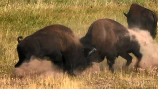 Pourquoi ne faut-il jamais approcher de bisons sauvages ?