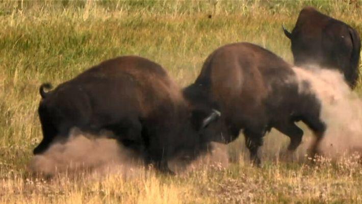 Pourquoi il ne faut pas approcher de bisons sauvages