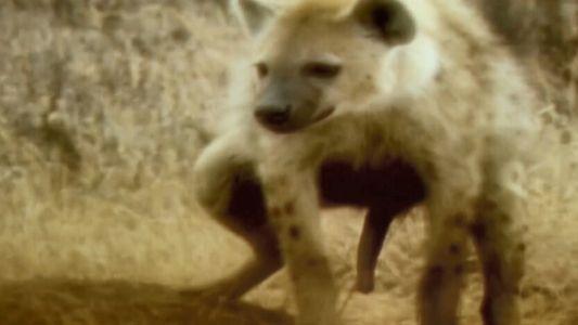 L'étrange clitoris de la hyène tachetée