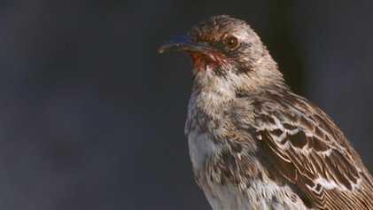 Les moqueurs Hood, oiseaux assoiffés de sang