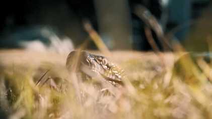 Une illustration de la puissance des serpents constricteurs